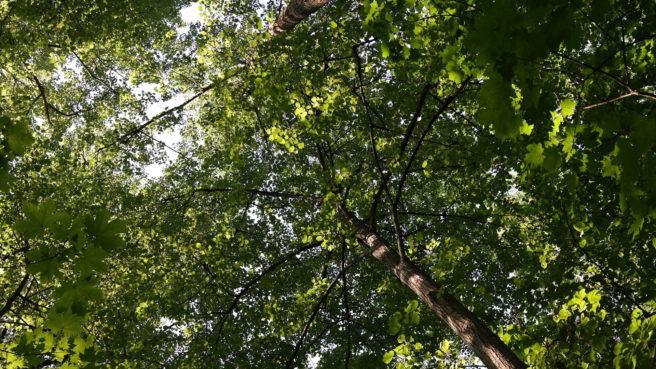 Etgrønt lauvtak i skogen