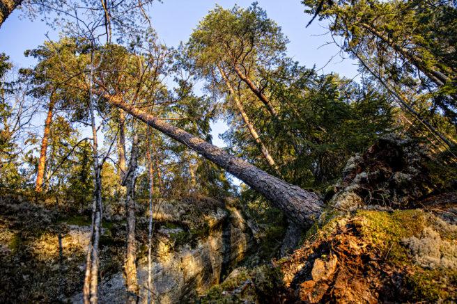 Et tre som har falt i en skog.