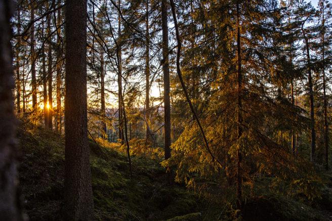 Skog i solnedgang-lys
