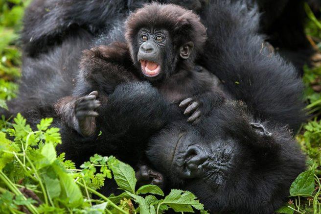 Baby fjellgorilla og voksen fjellgorilla