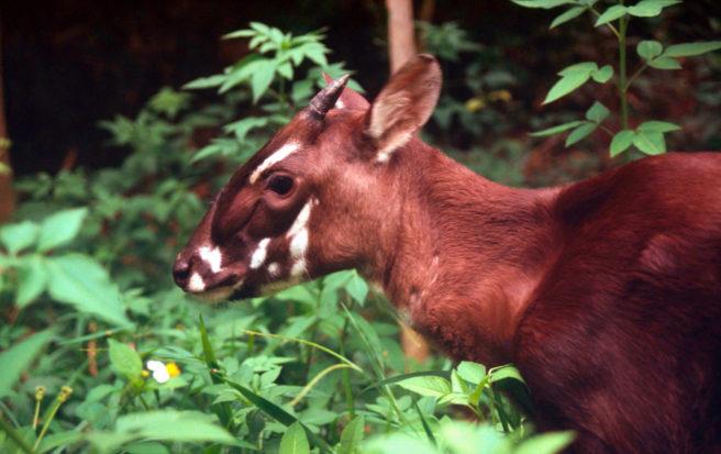 Lite antilopelignende dyr i jungelen