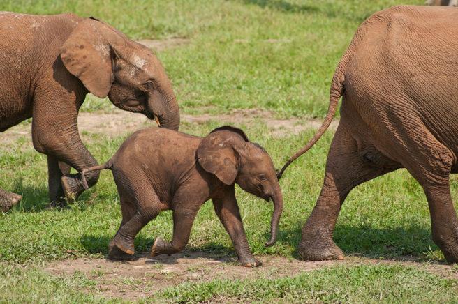 En afrikansk skogselefant-kalv sammen med familien sin i nasjonalparken Dzanga-Ndoki i Den sentralafrikanske republikk.