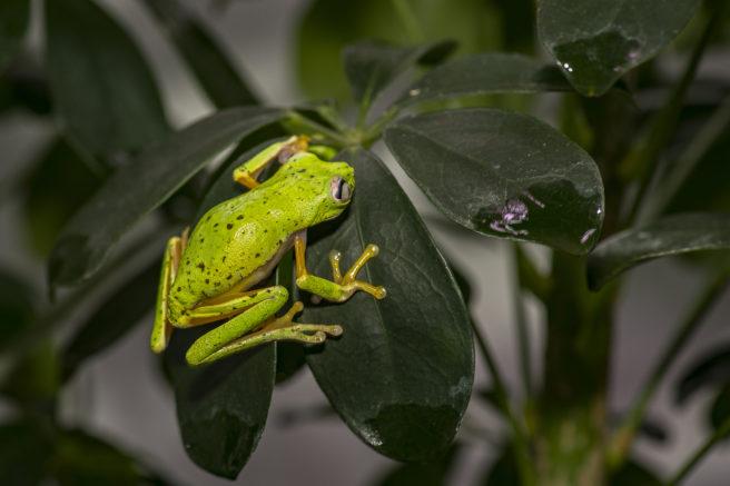 En grønn løvfrosk sitter på en gren
