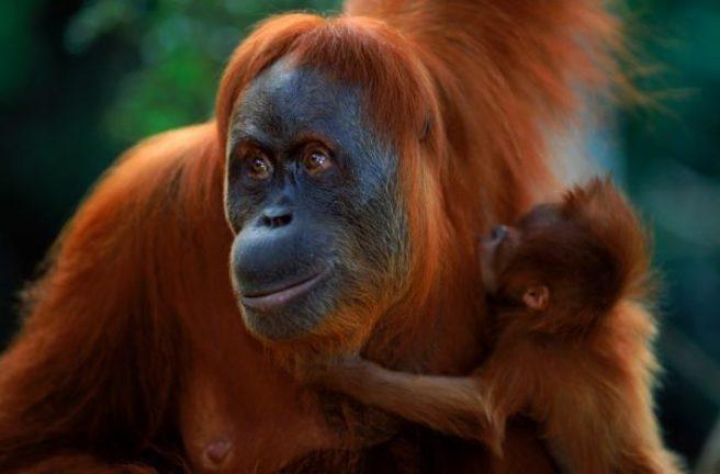 En orangutangmor med ungen sin rundt halsen