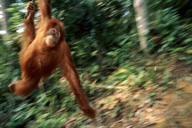 En ung orangutang svinger seg i en liane.