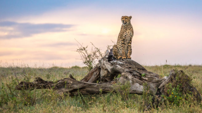 En gepard sitter oppå en trestamme og titter utover en steppe i solnedgang.
