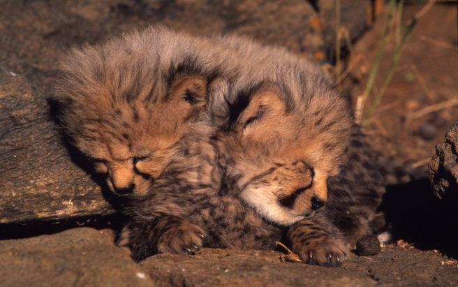 To gepardunger ligger sammenrullet.