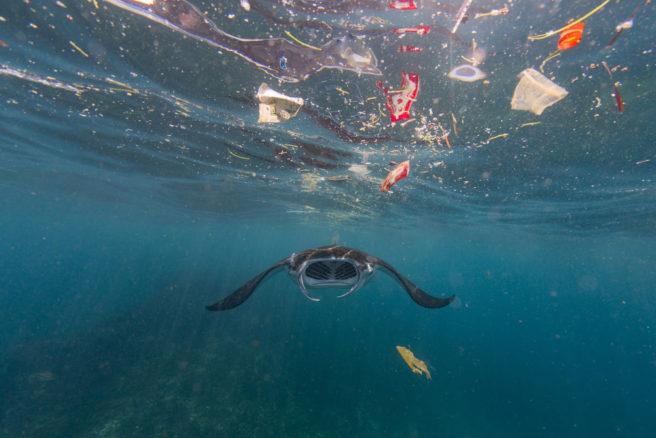 En rokke som svømmer under havoverflaten, hvor flere plastbiter ligger og flyter