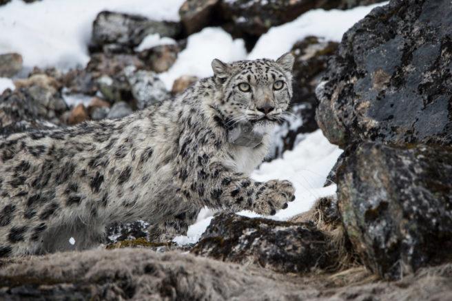 En snøleopard smyger seg opp en snødekt fjellside.