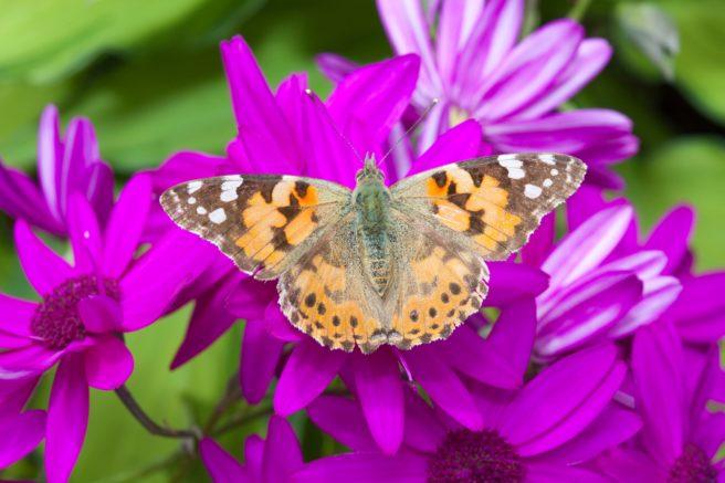 En tistelsommerfugl på en lilla blomst