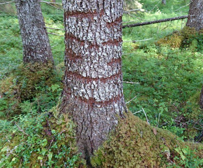 Stammen av en gran med en rekke ringer av hull - spor etter tretåspett