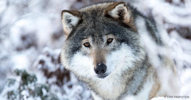 Nærbilde av en ulv med snødekt landskap i bakgrunnen