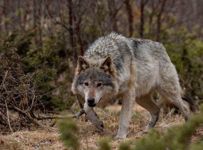 En ulv lusker mot kameraet