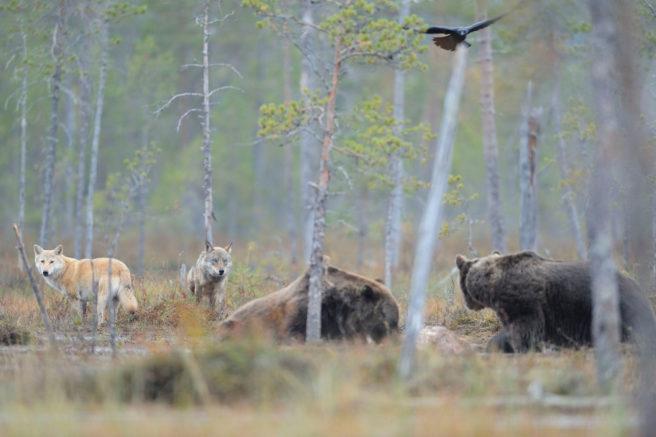 To bjørner som spiser, mens to ulver går rundt og ser på. En fugl kretser over dem.