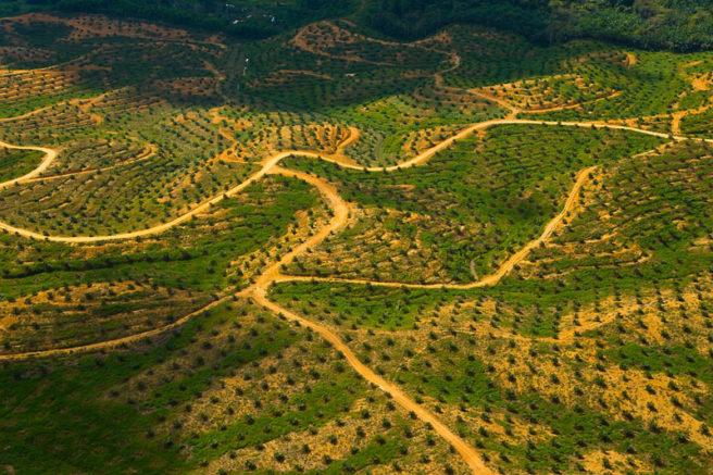 Et stort område er blitt avskoget, nå står i stedet oljepalmene på rad og rekke der skogen en gang sto