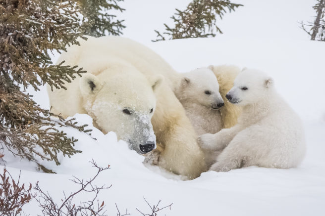 Isbjørnbinne med to små unger ligger i en snøhaug ved et grantre