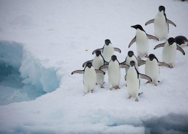 En gruppe adeliepingviner går utover et isflak.