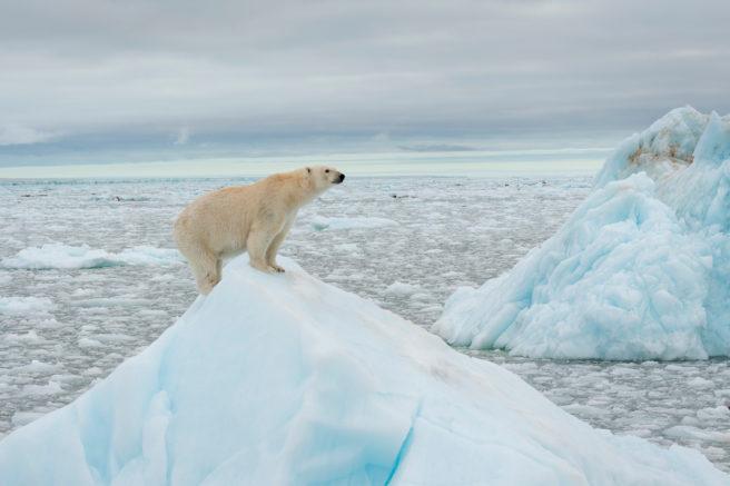 En isbjørn balanserer på toppen av et isfjell