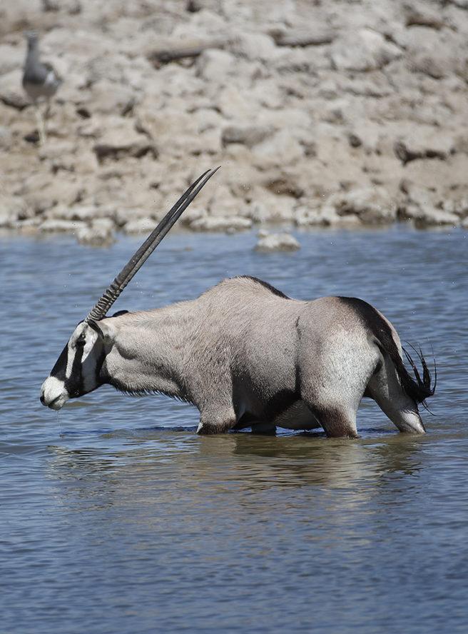 Oryxantilope som bader