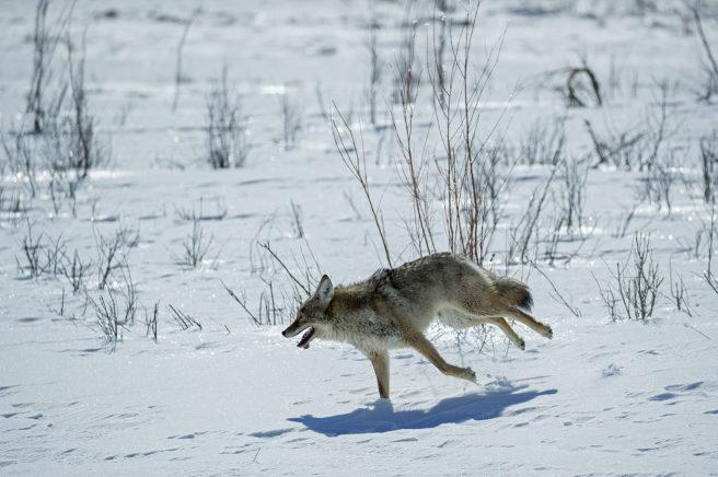 Prærieulv løpende over snø