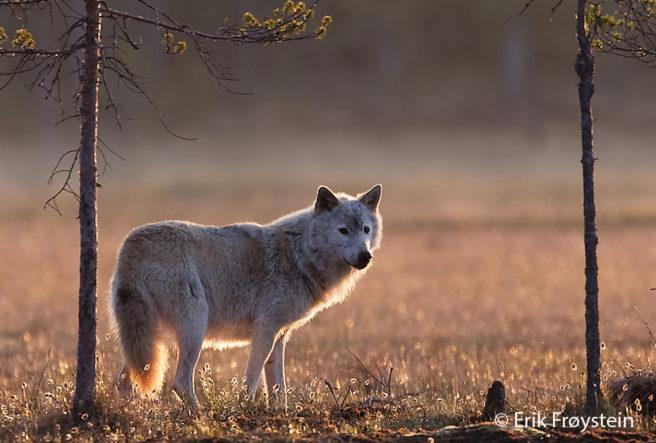 ulv i solnedgang