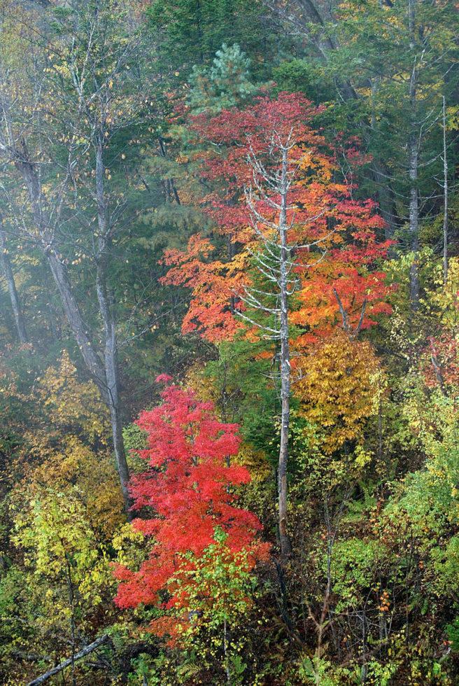 Trær i høstfarger, boreal skog i nasjonalpark i Sibir i Russland.