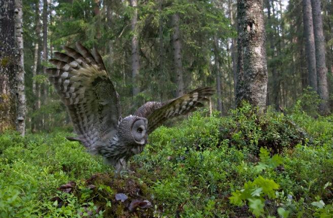 Stor lappugle går inn for landing i en frodig, finsk skog.
