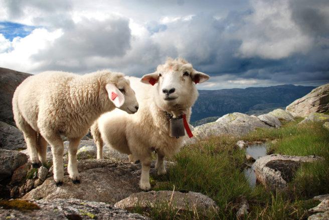 To sauer på toppen av norsk fjelltopp