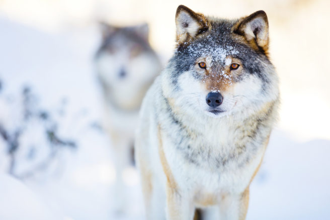 To ulver i vinterlandskap
