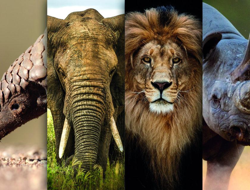 Pangolin, elefant, løve og neshorn