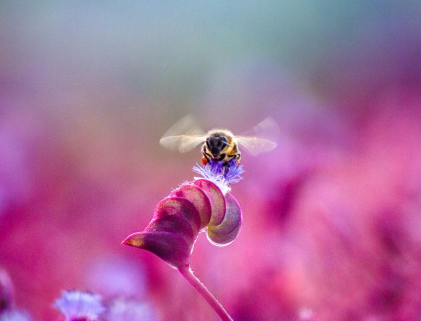 Bie på en rosa blomst