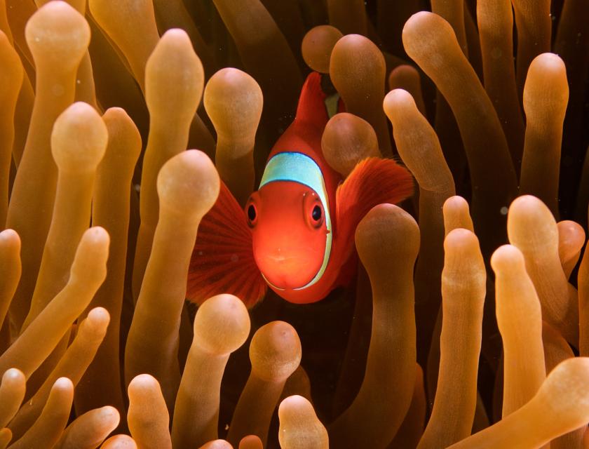 Fargerik liten klovnefisk gjemmer seg i oransje koraller