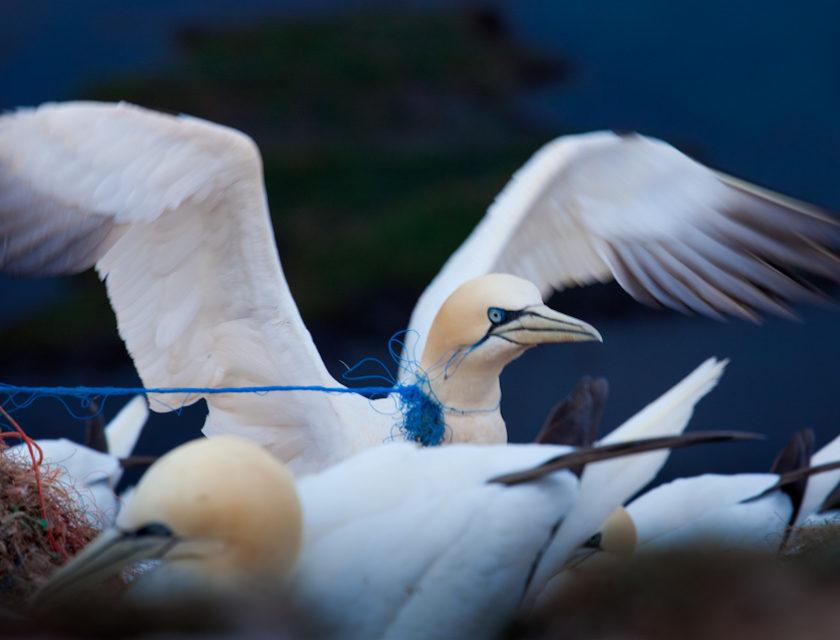 Sjøfugl med plast rundt halsen