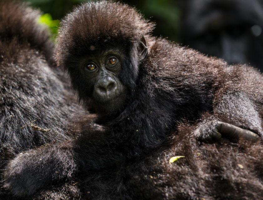En familiegruppe med fjellgorillaer i Virunga nasjonalpark i DR Kongo.