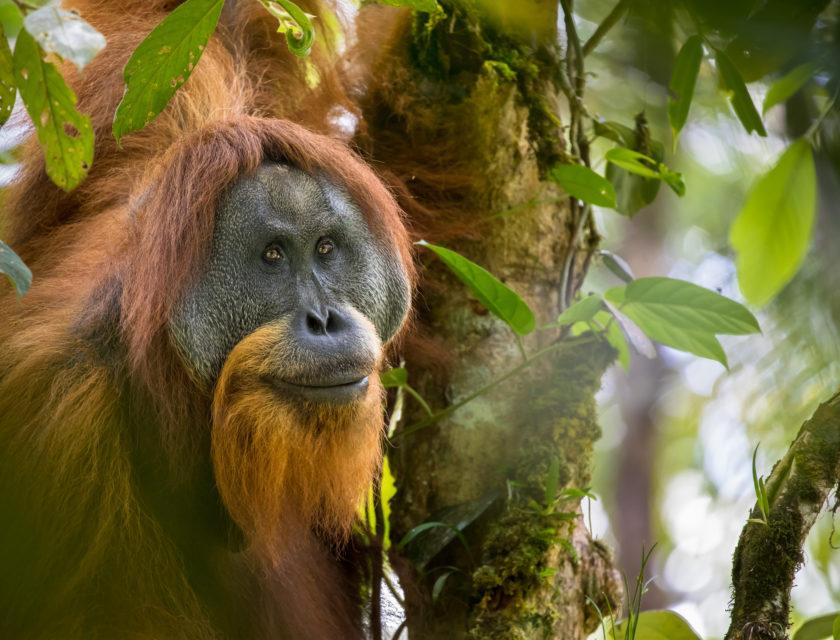Orangutang ser mot kameraet mellom greiner
