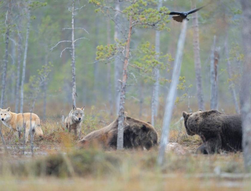 Ulv og bjørn som møtes på en myr i de finske skoger.