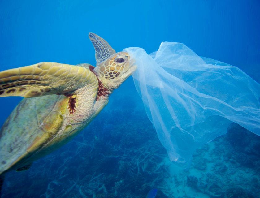 Skilpadde som spiser plast i blått hav