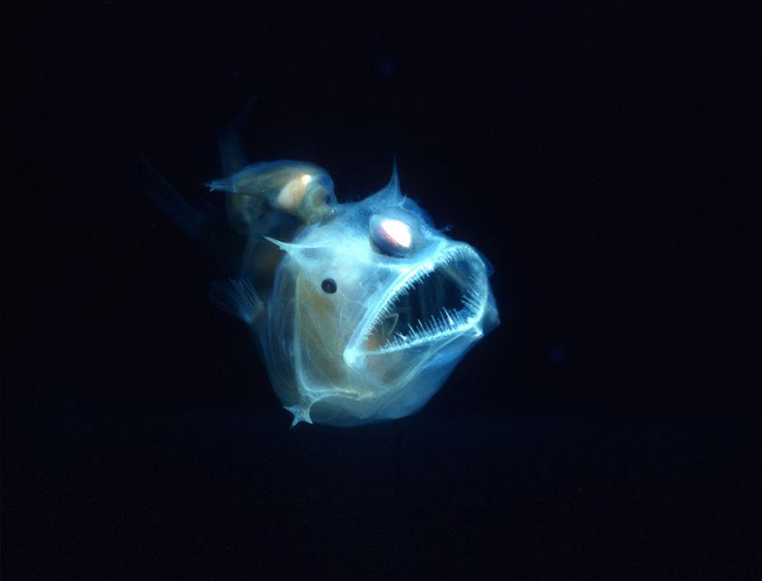 Selvlysende gjennomsiktig turkis fisk i sort bakgrunn
