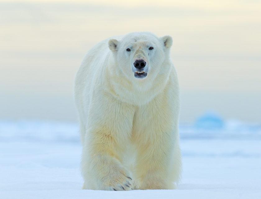 Isbjørn ser rett frem i vintersol