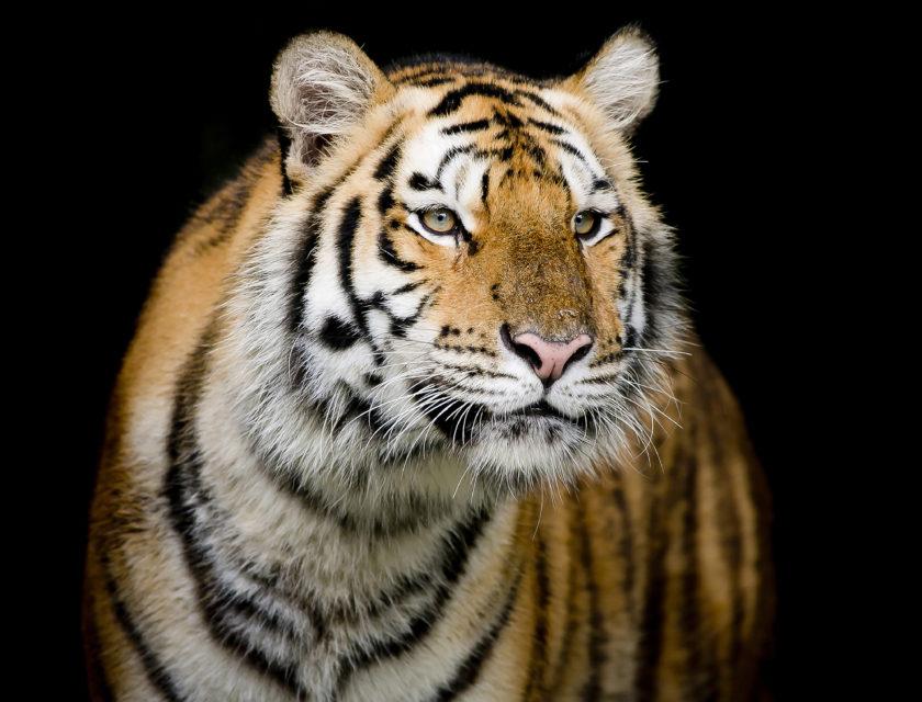 Tiger ser rett fram
