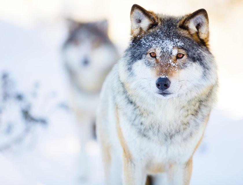 Ulver i hvitt vinterlandskap